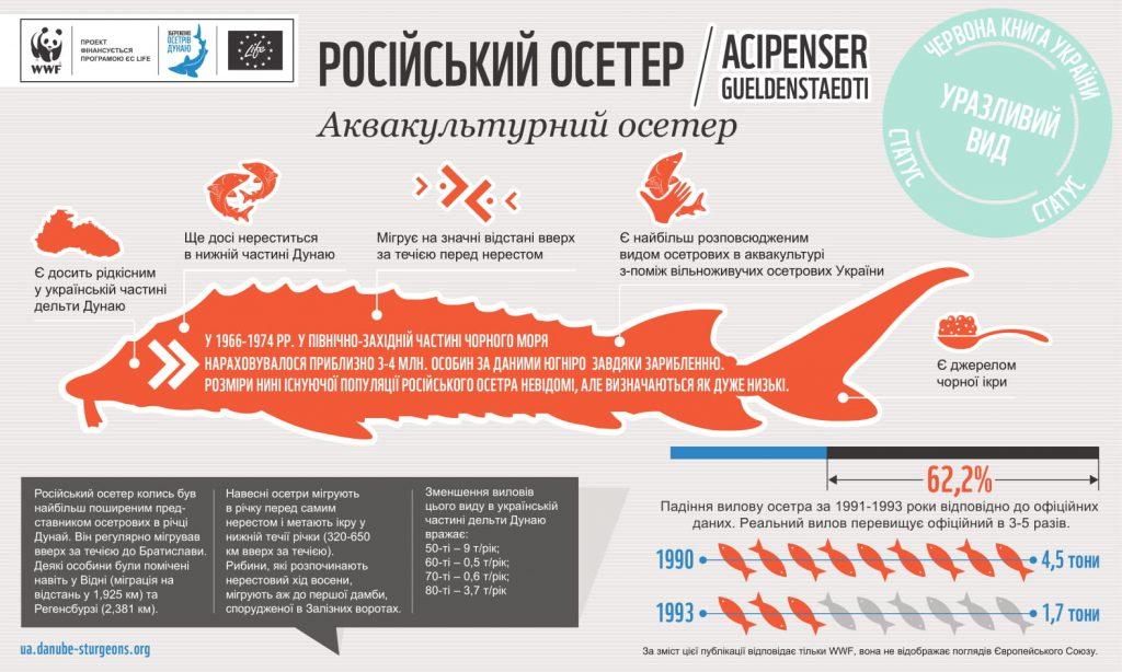 Russian sturgeon UA 1024x614 - Російський осетер