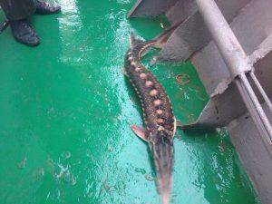 sturgeon 300x225 - Через 2 км незаконно встановлених сіток загинули 7 дельфінів, двох осетрів вдалося  врятувати