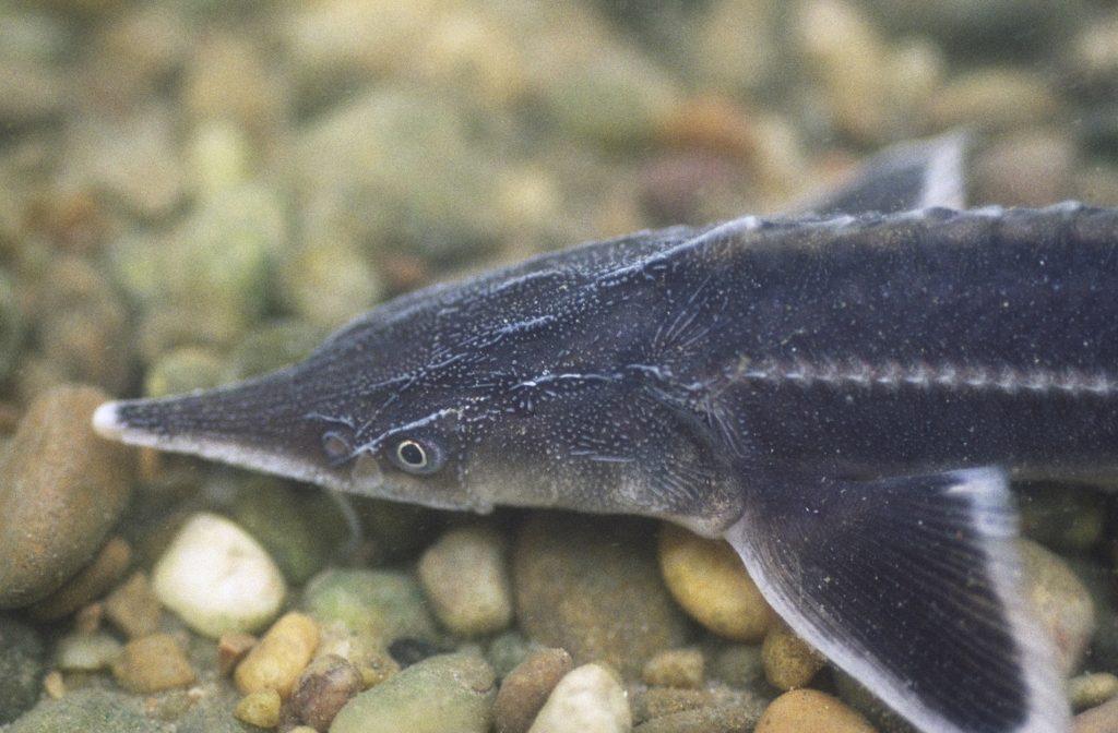 sturgeon 2 1024x672 - У Сумах відбувся тренінг WWF в Україні по осетрових рибах для рибінспекторів