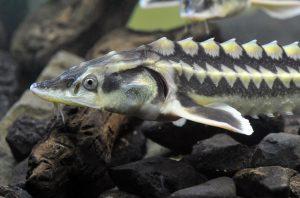 AcipenserGueldenstaedti 23102014 WWF Lubomir Hlasek 300x198 - Чому важливо боротися із незаконною вирубкою та браконьєрством?