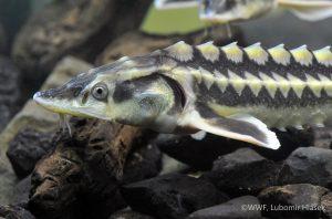 RussianSturgeon 23102014 WWF Lubomir Hlasek 300x198 - Стрімке скорочення чисельності мігруючих прісноводних риб загрожує життю мільйонів людей