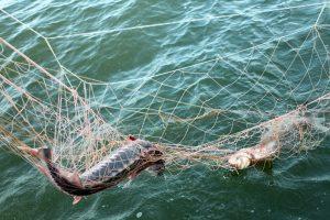 IllegalFishing 18042017 EvgeniyPolonskiy1 300x200 - Браконьєрство та незаконна торгівля осетрами становлять основну небезпеку для видів, що знаходяться під загрозою зникнення в Європі, попереджає новий звіт